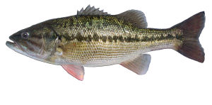 Type of fish for Fishing in louisville ky